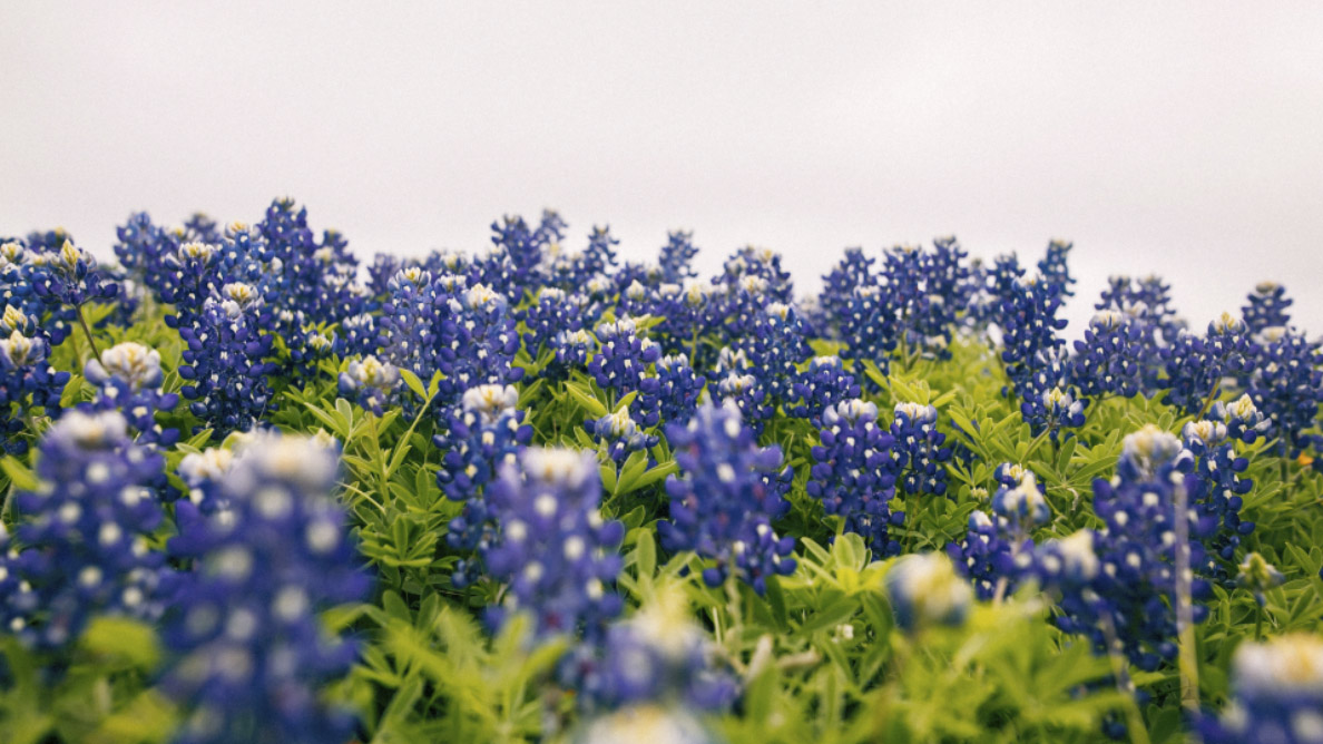 Best Places to See Bluebonnets in Austin This Spring