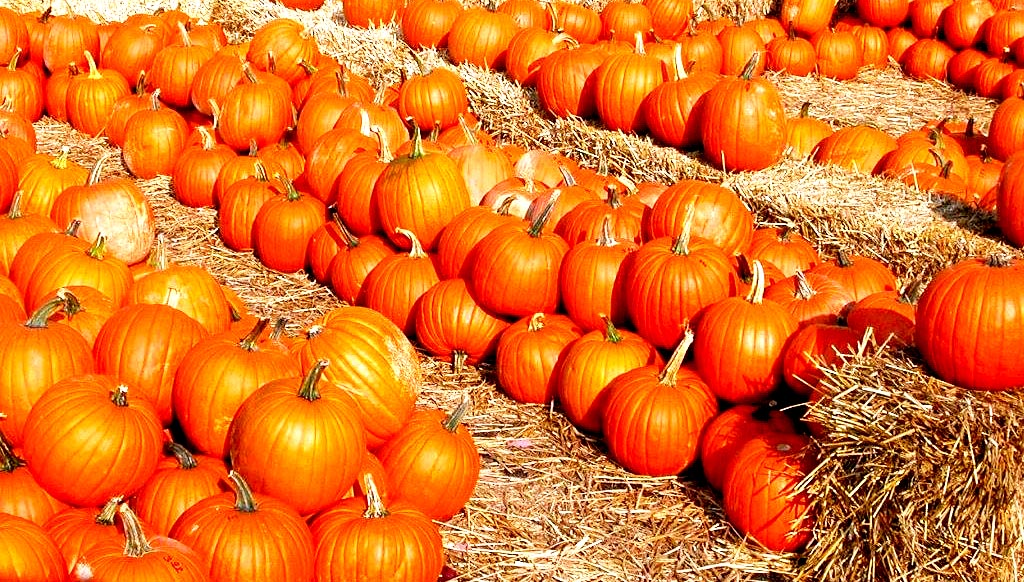 Image of Anderson Terrace Pumpkin Patch