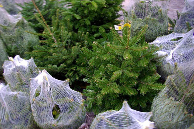 Image of Pedernales Electric Cooperative Recycling Christmas Trees in Austin, TX